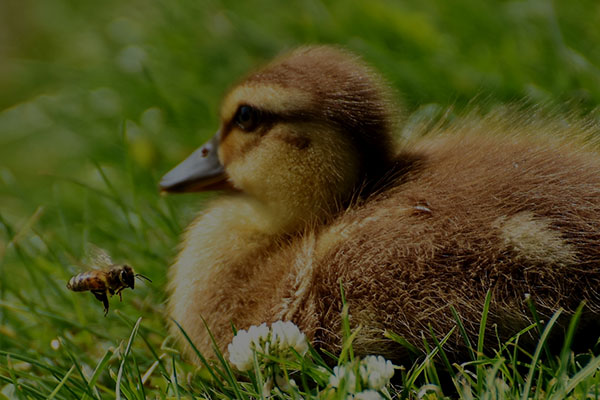 ducklings-2423955cv